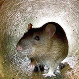 Rat in the Pipes Mix