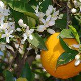 Universal Soul(Citrus Flower Mix)