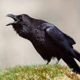 FRÜHSTÜCK - 26.04.17 La protection des animaux :  Les corbeaux