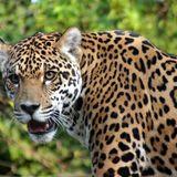 El Jaguar ( J Rocc - Darkstar - Disrupt - Ikonika - Badawi - Sun Ra - Clark - Dntel - Tipsy )