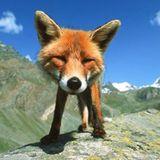 TRAVISWILD's Animal Kingdom Radio 039 - RED FOX
