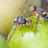 09/09/13 La guerra fra le mosche delle olive