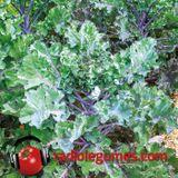 Le plus frisé des choux, le kale