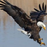 TRAVISWILD's Animal Kingdom Radio 019 - Bald Eagle