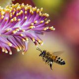 L'extinction des abeilles : quel impact?