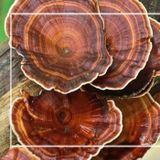 Interesting Facts About Reishi Mushrooms