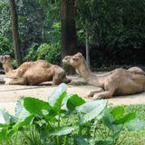 The Camels - SingaParino