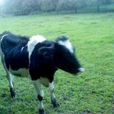 la vache 1
