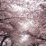 The Sundance Kid's WestEnd Cherry Blossom Throwdown!