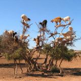 Goats In Tress #SIR 50