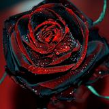 BLACK ROSE 594 22/12/2018