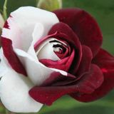 Zaharia Barsan - Trandafirii rosii