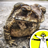 Can toads predict earthquakes?
