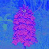 Orchis Purpurea Flora Mix by Fuinki
