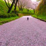 Sakura chill aum 2016