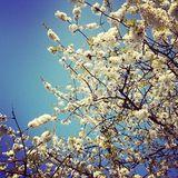 A Cherry Blossom (Mixtape 37)