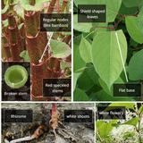 Peter Gill on Japanese Knotweed