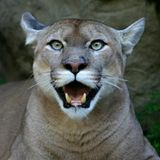 TRAVISWILD's Animal Kingdom Radio 040 - PUMA