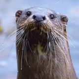 The Truth About Otters
