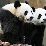5imply Panda Mix 2.0