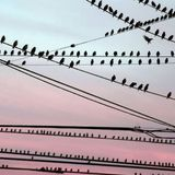 Ninety-nine birds on a wire...