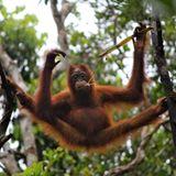 TRAVISWILD's Animal Kingdom Radio 043 - Orangutan