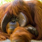 Save Orangutan Borneo - Sumatra Now