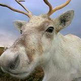 reindeer ragout