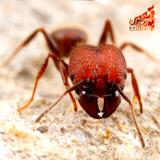 Thai-Fi - Fire Ant's Language (Progressive Bug)