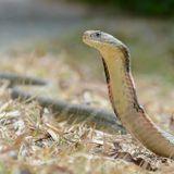ZOOMagazín - 27.11.2017 - Kobra královská - královna mezi hady
