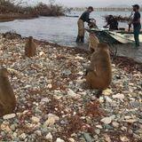 Logran asignación de sobre $7 millones para Cayo Santiago, conocida como la Isla de los Monos.
