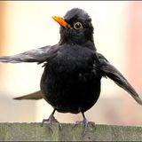 Dancing Blackbird