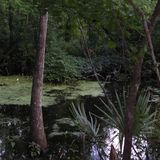 Louisiology 10 - Swamp Forests, part 3