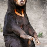 Is a Bear Bile Market Necessary? by Isabel Cardenas