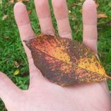 Falling Leaf Electronica 2 (2015)
