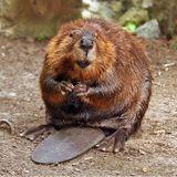 Beavers In Brazil