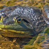 Wetland Stewards Barb Beasley and Tanya Dowdall talk Bullfrogs on Long Beach Radio - June 14, 2012