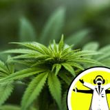 Medicinal Cannabis: Weeding Out The Hype