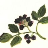 Blackberry Cove Herbal - February: skunk cabbage, chickweed, wintergreen (final month)