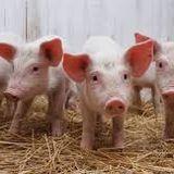 El Agro y más Guías de movilización de ganado porcino SENASA 28-11