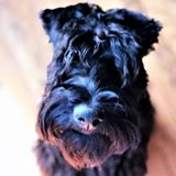 Kerry Blue Terrier Foundation: Rescuing Kerries with George Hanna and host Connie Spicer