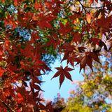 Tokyo ON #025: Autumn Leaves