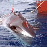 'Deadlock': Japan pushes for International Whaling Commission restructure