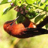 Juan Fernandez Island and the Endemic Firecrown Hummingbird by Michael Peñuelas