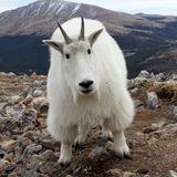 TRAVISWILD's Animal Kingdom Radio 041 - Mountain Goat