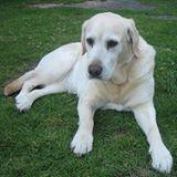 Butters Golden-Labrador