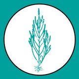 Salicornia Xiringuito