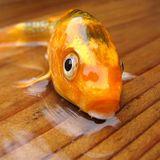 Dryfish