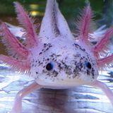 sharxolotl