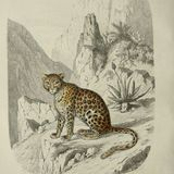 The Fabled leopard